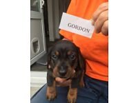 KC Registered miniature dachshunds for sale