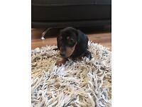 The most beautiful Miniature dachshund puppies