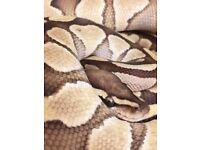 male lesser hypo royal python