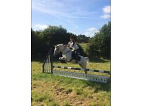 13.2hh fun all rounder