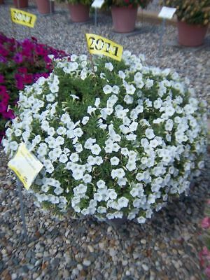 6 spreading petunia seeds SHOCK WAVE COCONUT The best for baskets,