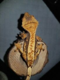 Gorgeous harlequin high % percentage pinstripe crested gecko with awesome structure and lineage.