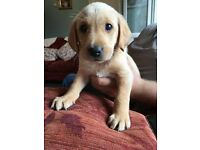 KC REGISTERED YELLOW LABRADOR PUPPIES