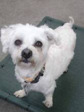 Leo - Maltese x Poodle 3 years Apartment Friendly ADOPT NOW Ingleside Warringah Area Preview