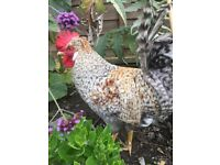Beautiful cream legbar cockerel. 18 weeks old free to good home.