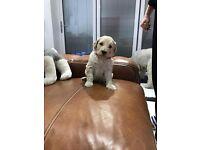 Miniature labradoodle pups