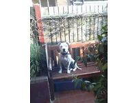 Staffordshire bull Terrier bitch for sale ,