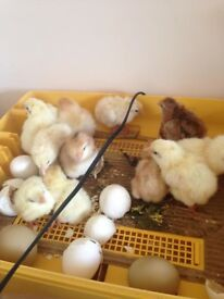 === Week Old Chicks ===