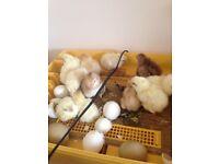 === Week Old Chicks ===