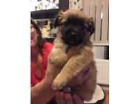 Puppies for sale jacuhuahua x chihuahua