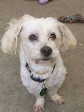 Perry - Maltese x Poodle 9yrs ADOPT Ingleside Warringah Area Preview