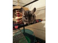 Chinchillas RESERVED, Cage Available