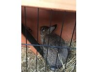 Brown female rabbit