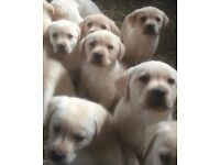 Labrador puppies for sale £100 each