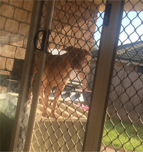 10 month old purebred male APBT Redbank Plains Ipswich City Preview