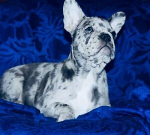 Blue Merle and Blue french bulldogs litterExpensive