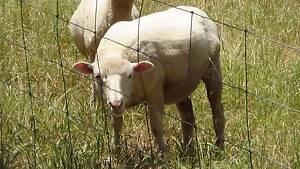 Suffolk X Lambs/Sheep Kersbrook Adelaide Hills Preview