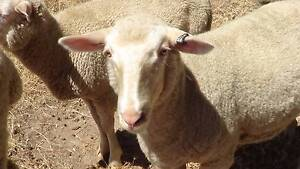 Crossbred Sheep Kersbrook Adelaide Hills Preview