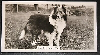 Shetland Sheepdog    Vintage Show Champion  Original Photo Card # VGC