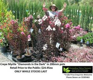 Crepe Myrtle Vibrant Colours Plants Diamonds in the Dark Mudgeeraba Gold Coast South Preview