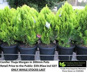 Thuja Morgan Conifer Feature Plant Mudgeeraba Gold Coast South Preview