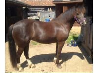13.2 hh pony for part loan / share, 3 days a week £10 a week