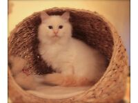 GCCF registered Pedigree Ragdoll Kitten ( Ready Now)