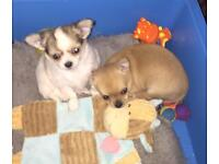 KC Chihuahua puppies