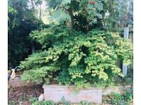 Acer plants