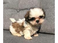 Maltese | Dogs & Puppies for Sale - Gumtree