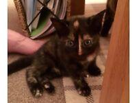 One Remaining Kitten for Sale, Female Tortoise Shell.