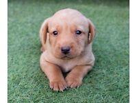 Labrador puppies ! Kc registered