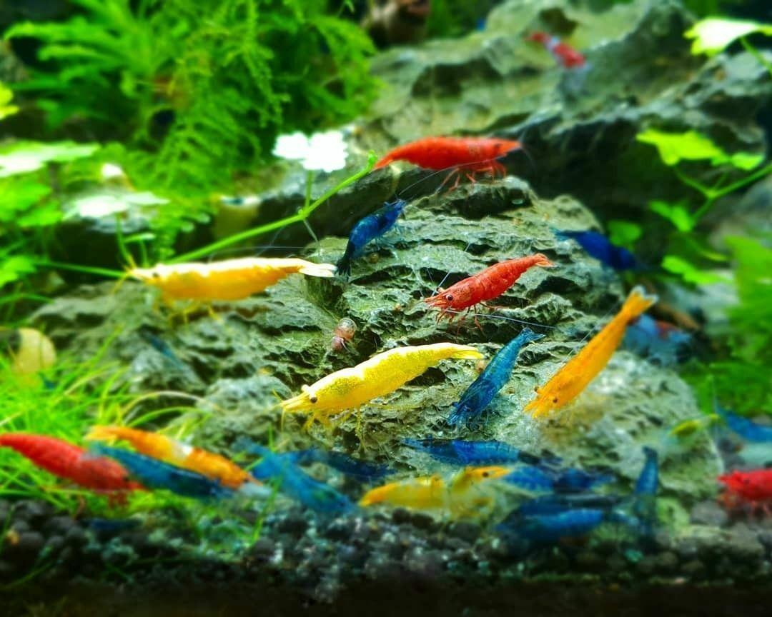 16 4 Adult Neocaridina Candy Skittle Live Shrimp Mixed Colors Aquarium - $69.95