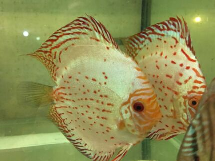 New CHAN Discus -November Shipment