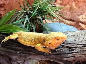 Yellow phase bearded dragon and custom enclosure Mount Cotton Redland Area Preview
