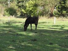 Part Arab 14.5 hh Black Horse East Gippsland Preview