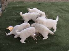 Maremma livestock guardian or companion Brisbane City Brisbane North West Preview