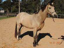 A VERY SPECIAL HORSE Landsborough Caloundra Area Preview