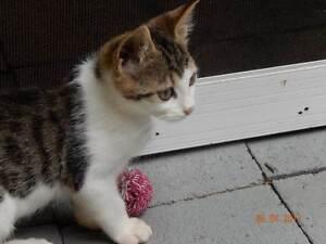 Playful Kitten Wahroonga Ku-ring-gai Area Preview
