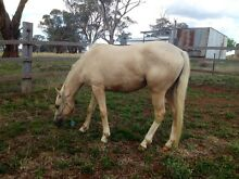 Beautiful Palomino Filly 'Dolly' Orange Orange Area Preview