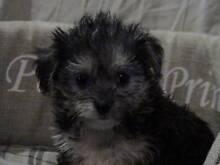 Maltese Pup Brisbane Region Preview