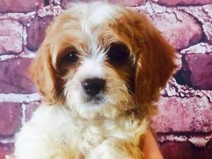 Cavoodle puppy - Pretty as a picture Sydney City Inner Sydney Preview