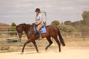 Lovely dressage mount 16.1hh gelding by Bianconi Lara Outer Geelong Preview