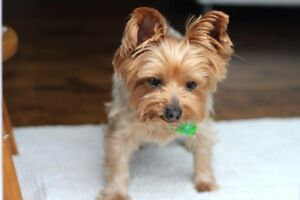 URGENT: MISSING YORKIE DOG IN COLLINGWOOD