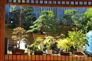 Quality bonsai clearance sale for landscaping work Macquarie Links Campbelltown Area Preview