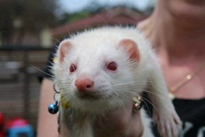 Have you just got a free Ferret in Blacktown Blacktown Blacktown Area Preview