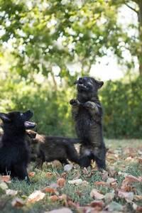 Amazing Sable Pedigree German Shepherd Pups. Wolf-like Imp Lines Brisbane City Brisbane North West Preview