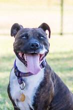 Bella – medium female Staffy cross Penrith Penrith Area Preview