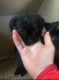 !! Lovely black shug puppies for sale