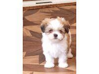 Beautiful playful Lhasa Apso puppy